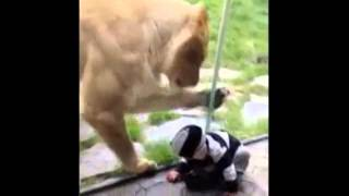 Lion, Toddler, And Scares, Oh My!