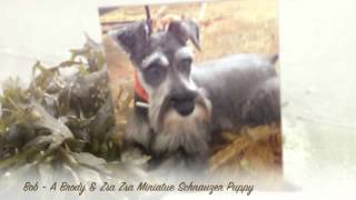 Bonkers For Miniature Schnauzer Puppies