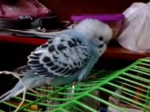 Erkek muhabbet kuşu sesi