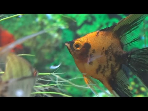 How To Feed Your Fish Mysis Shrimp. For Beginners
