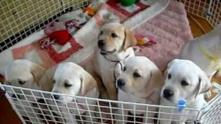 ラブラドール もみじの子犬たち。すうすくと成長中。ついに捕らえました...