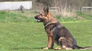 Ipo Obedience Trained German Shepherd