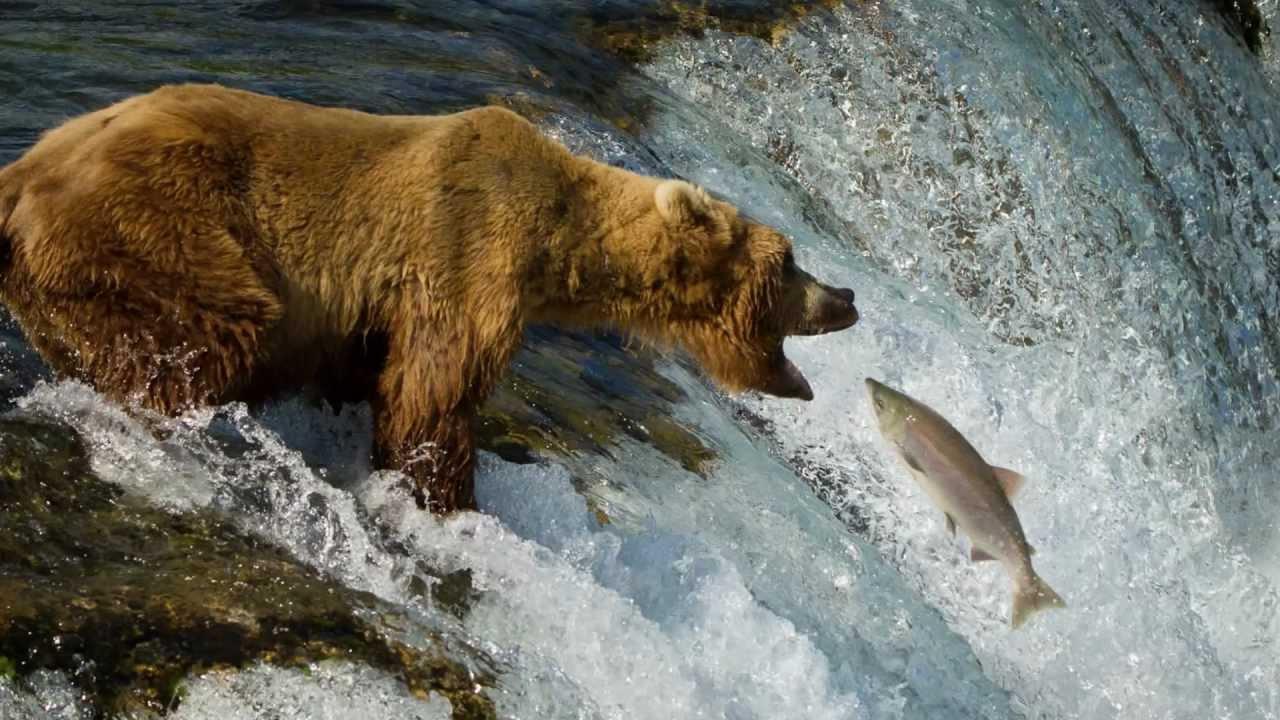 Bing Fall Wallpaper Grizzly Bears Of Katmai National Park Alaska 1080p Youtube