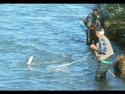Shore fishing catching sockeye salmon kenai river reds for Kenai river fish counts