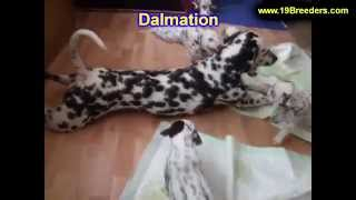 Dalmation, Puppies, For, Sale, in, Mobile, County, Alabama, AL, Huntsville, Morgan, Calhoun, Etowah,