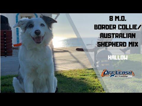 BORDER COLLIE/AUSTRALIAN SHEPHERD MIX / DOG TRAINING
