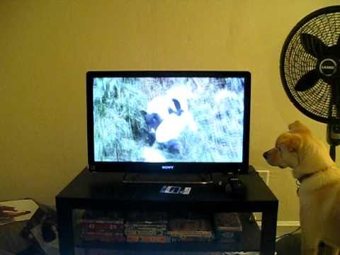 can dogs see tv