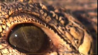 HIPPOS VS. CROCS   The Ultimate Predator  An Arsenal of Predation  Animals Documentary NAT GEO WILD