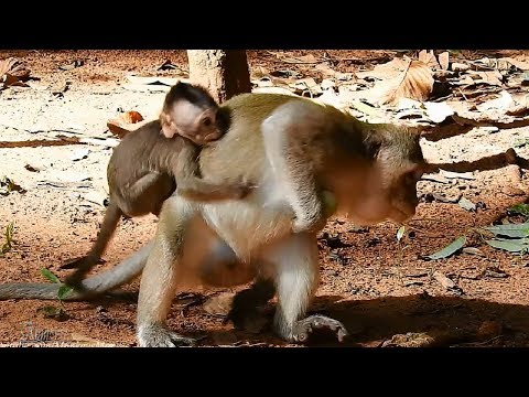 Poor Baby Charles Kidnapped By Crazy Monkey, His Mom Run Away, Daily Monkeys Man #818