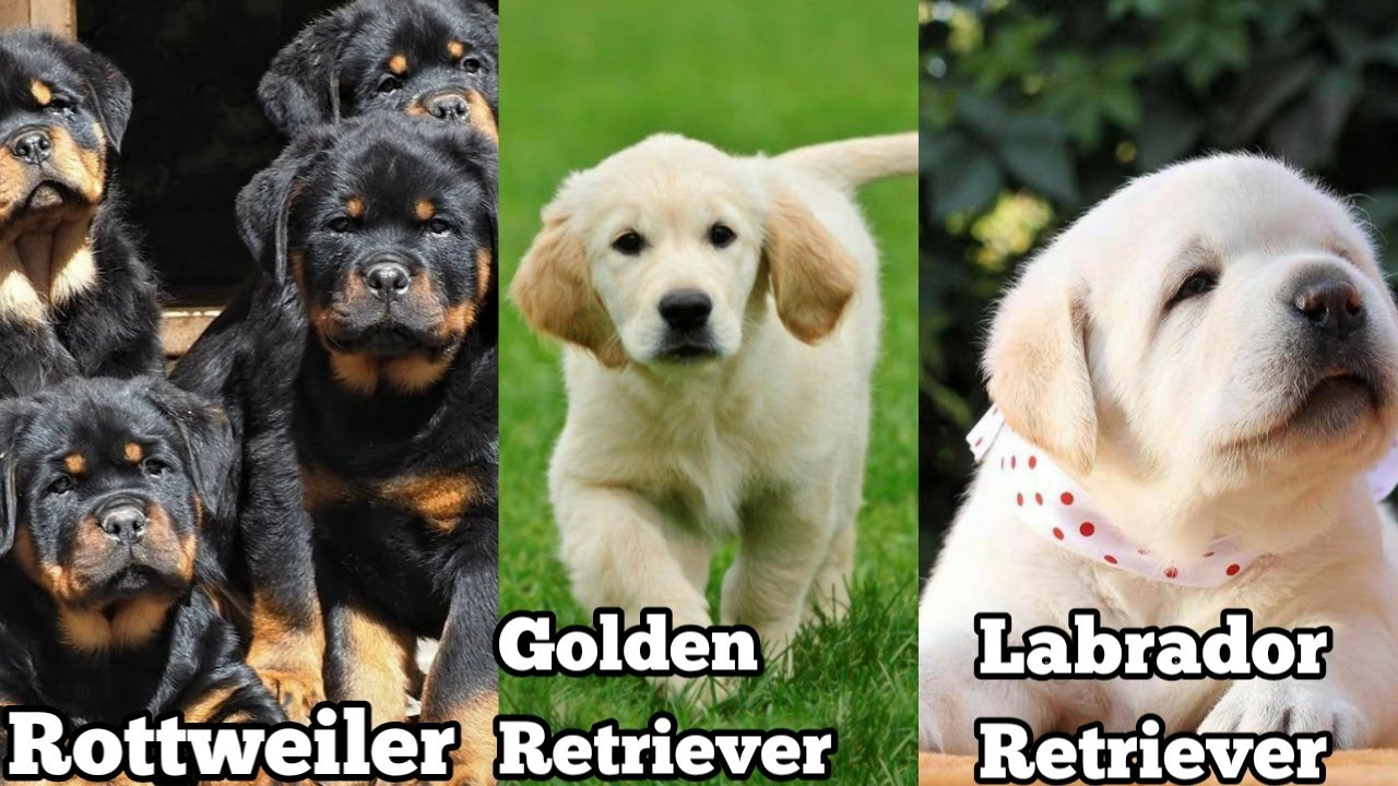 Rottweiler, Golden retriever and Labrador retriever Puppies for sale in low price| Doggies tube