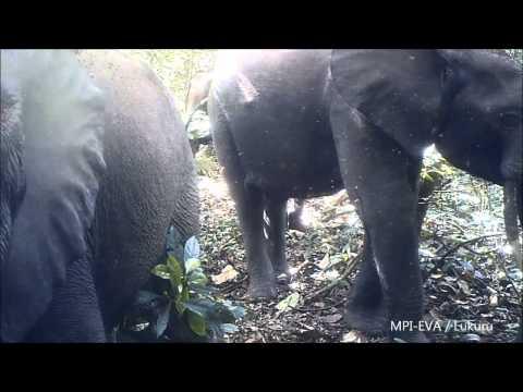 Forest Elephants (Loxodonta cyclotis)