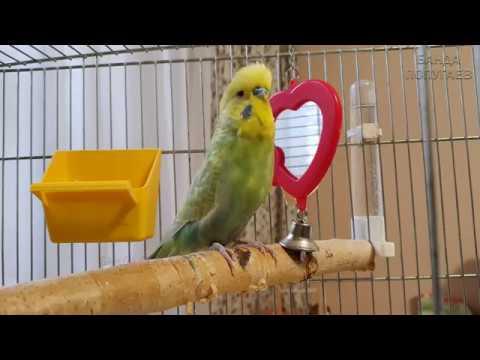 Волнистый попугай и зеркало 🐦