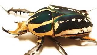 Mecynorrhina torquata ugandensis colour variations