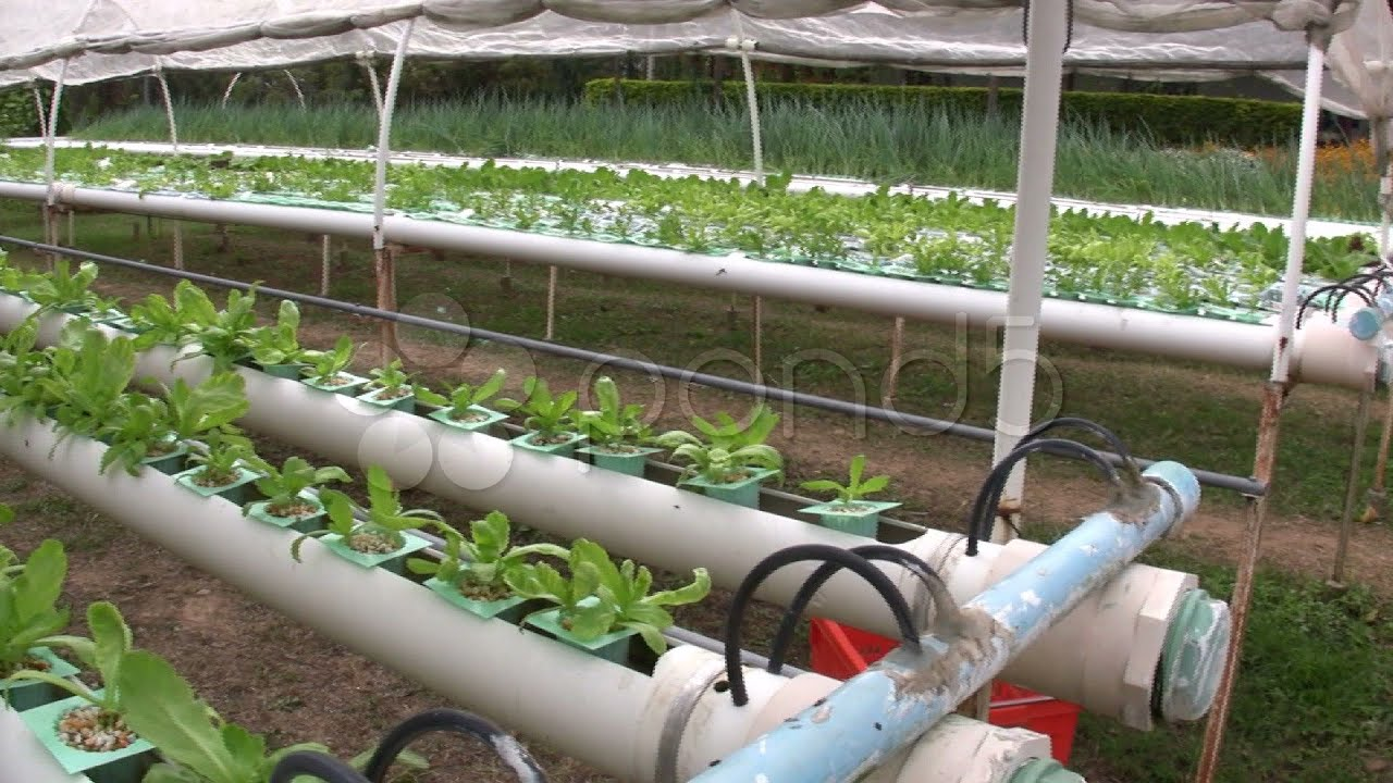 Hydroponic Farm Garden Vegetable Cultivation Crop Agricultural Technology.  Stock Footage