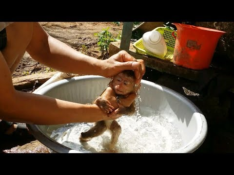 Cute Baby Monkey Taking A Bath And Drink Milk Daily