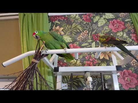 Видео: Краснолобый амазон Рикко и роскошный горный попугай Гуля