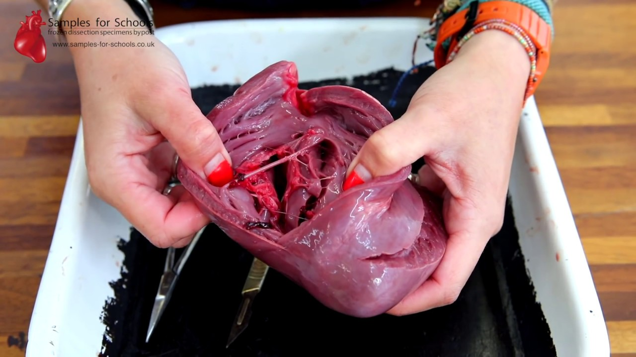 Heart Dissection GCSE A Level Biology NEET Practical Skills