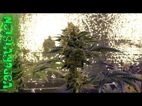 Cannabis Flush for HarvestKaynak: YouTube · Süre: 15 dakika59 saniye
