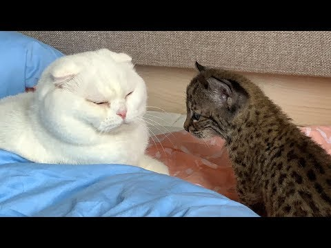 LYNX KITTEN MEETS THE CAT
