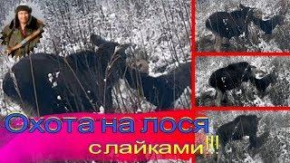 Охота на лося с лайками.#Hunt for moose with laikies#