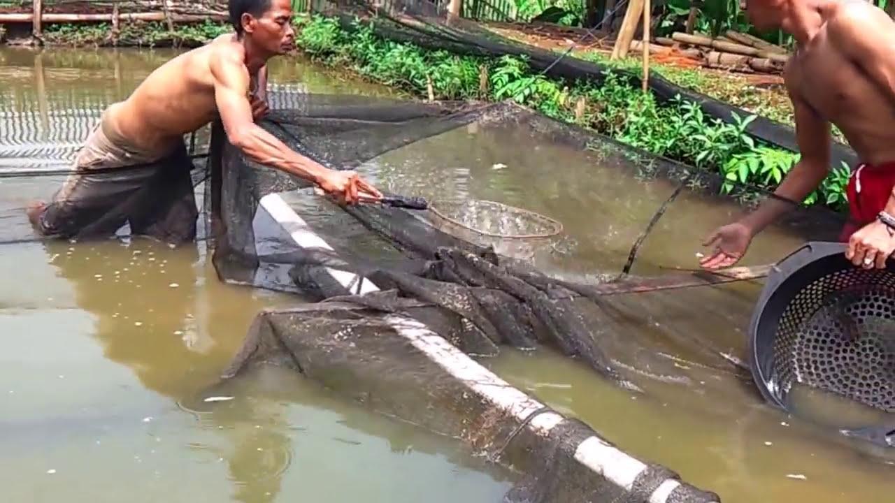 Cara Panen Budidaya Ikan Patin Di Kolam Tanah - YouTube