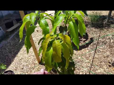 Arizona Front Yard Food Forest Update Tour 6/2/16