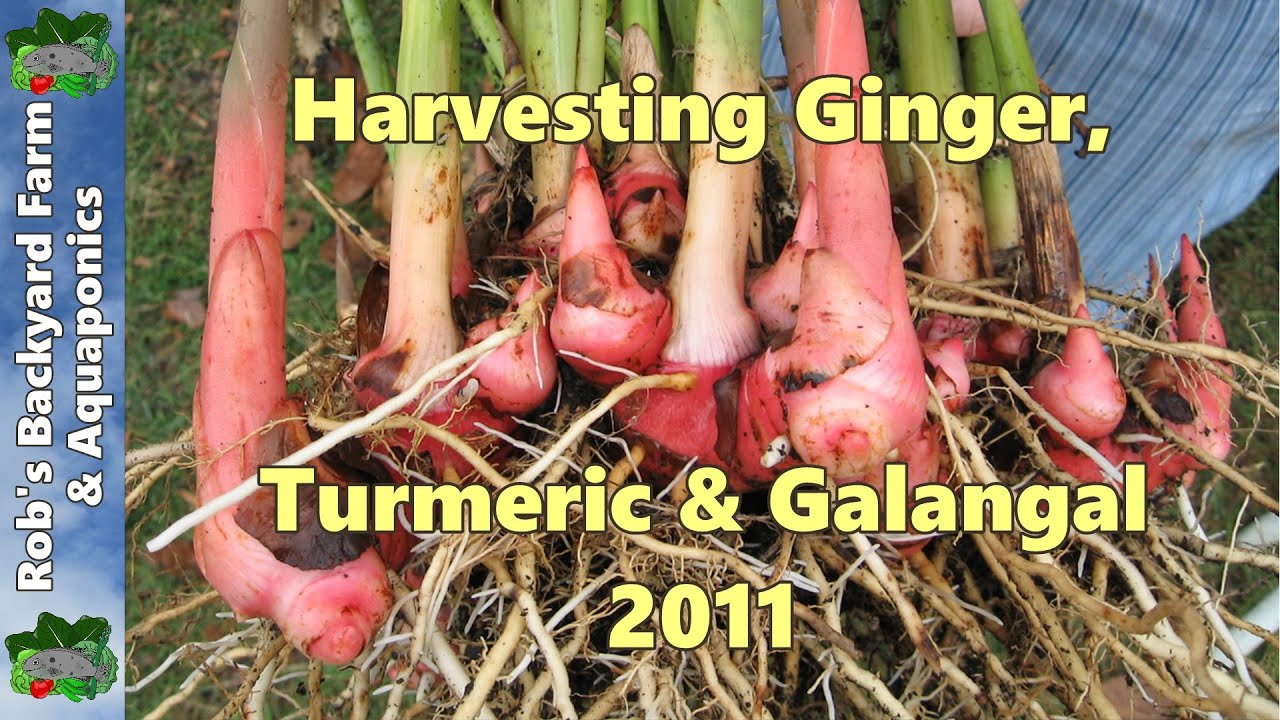 Alpinia Boesenbergia Galanga Ginger Plant Division pot plantes spice curry