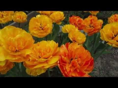 13 мая 2015г  Цветение махровых тюльпанов