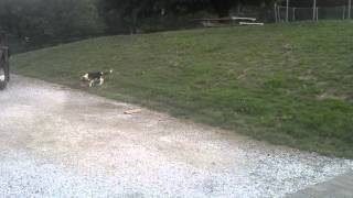 Champ The Boxer Dog Plays With Beagle On The Farm
