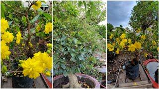 BÁO GIÁ MAI ĐẠI LỘC THÀNH PHẨM CHƠI TET 2020 ngày 24/10😍0919 990 408 A THANH😍 bonsai can tho