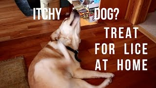 Itchy Dog?  She May Have Lice!