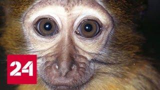 В Москве пьяный мужчина забил до смерти редкую обезьяну - Россия 24
