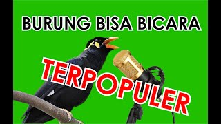 Burung yang bisa bicara 7 Daftar burung bisa bicara terpopuler