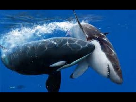 Orcas Attack Great White Shark - Neptune Islands, South Australia.