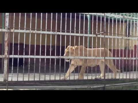 lionesses in Addis Ababa Ethiopia