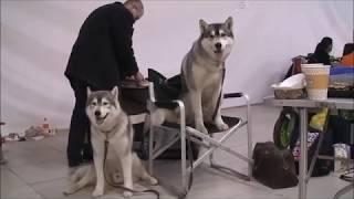 Ездовые собаки  сибирские хаски Нео и Спирит 2018
