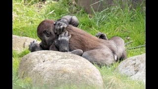These Gay Gorillas Remind Us <b>Animal</b> Homosexuality Is Very ...