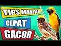 Cara Merawat Manyar Agar Gacor Burung Masteran Manyar  Mp3 - Mp4 Download