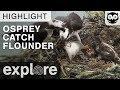 Osprey Delivers Flounder to Nest - Audubon Osprey - Live Cam Highlight