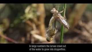 Libellen op het Deelense Veld