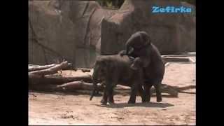 Большая Любовь Слонов УМОРА, РЖАЧЬ / Große ElefantenLIEBE / Big elephants LOVE