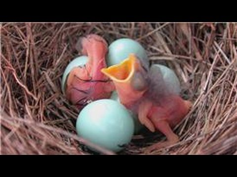Bluebirds : When Do Bluebirds Hatch? - YouTube