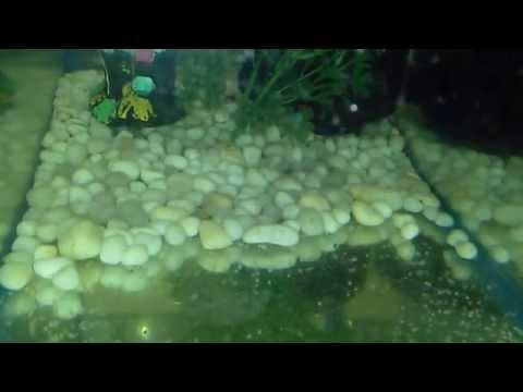 Goldfish Eggs Hatching Day 4 ( No Change In Egg Size )