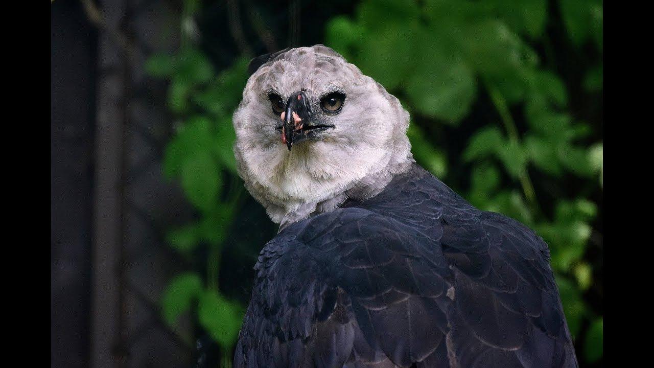 Harpyie / Harpij adelaar / Harpy Eagle : Weltvogelpark ...