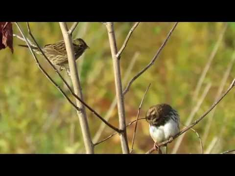 Lincoln's Sparrow and Song Sparrow (Norristown Farm Park)
