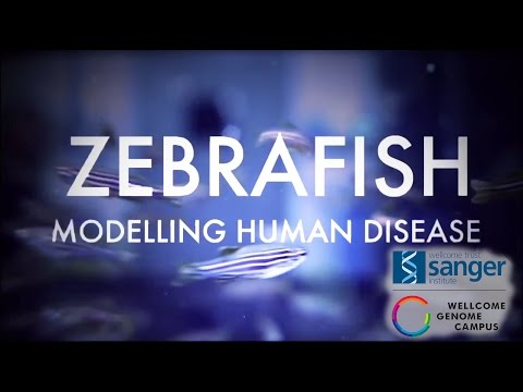 Zebrafish: Modelling Human Disease - Sanger Institute
