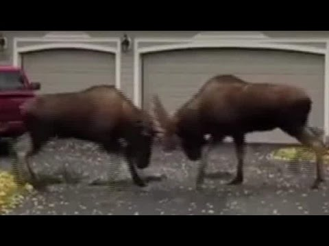 Moose melee caught on camera