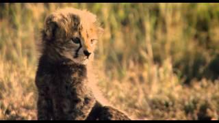 African Cats: Herding Cats - Clip