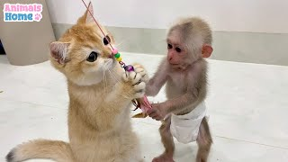 BiBi monkey teach Ody cat to play with toys