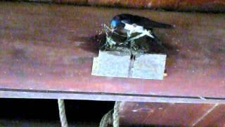巣立ちから5日目... ツバメさん夫婦が農具小屋の 今ある巣の向かい側に...